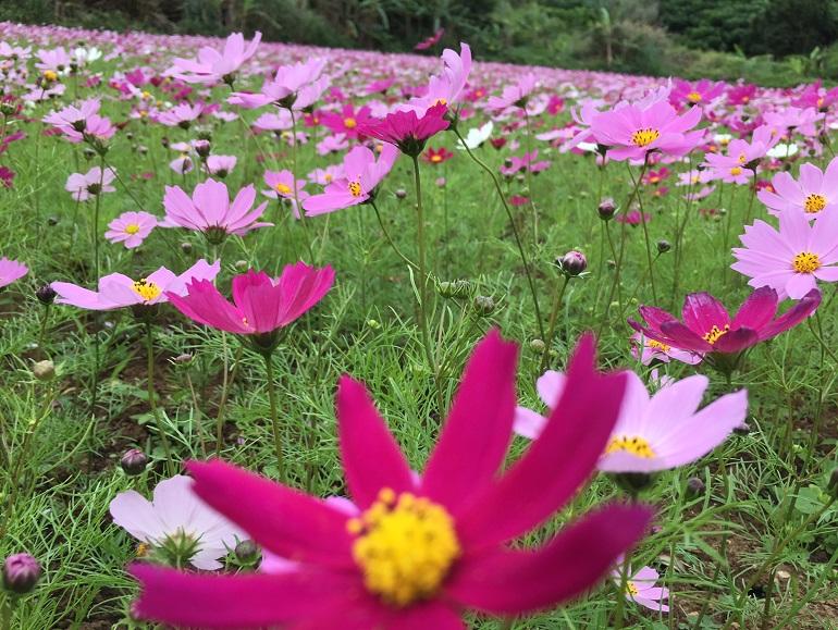 多良川のコスモス畑2016
